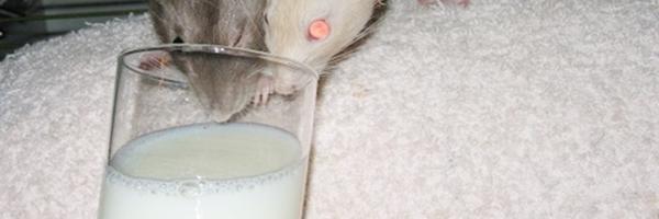 Nawyki – po co nam badania na szczurach?